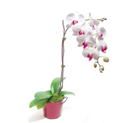Eskişehir internetten çiçek siparişi  Saksida orkide