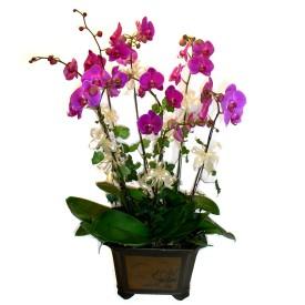 Eskişehir güvenli kaliteli hızlı çiçek  4 adet orkide çiçegi