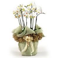 Eskişehir anneler günü çiçek yolla  3 dal orkide , saksi çiçegi , 3 kök orkide