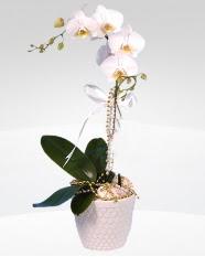 1 dallı orkide saksı çiçeği  Eskişehir hediye çiçek yolla