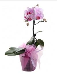 1 dal pembe orkide saksı çiçeği  Eskişehir çiçek satışı