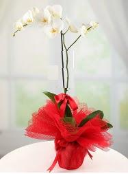 1 dal beyaz orkide saksı çiçeği  Eskişehir ucuz çiçek gönder