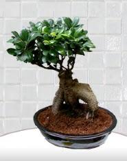 saksı çiçeği japon ağacı bonsai  Eskişehir çiçek satışı