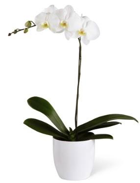 1 dallı beyaz orkide  Eskişehir çiçek yolla , çiçek gönder , çiçekçi