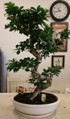 100 cm yüksekliğinde dev bonsai japon ağacı  Eskişehir çiçek siparişi sitesi