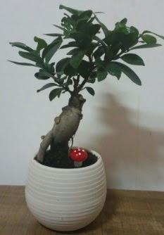 Bonsai japon ağacı saksı çiçeği  Eskişehir internetten çiçek satışı