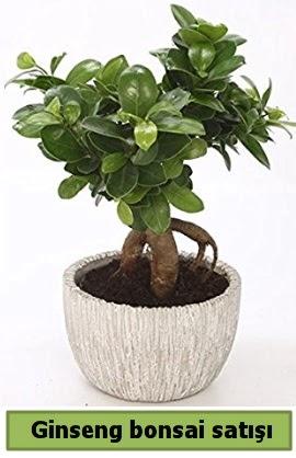 Ginseng bonsai japon ağacı satışı  Eskişehir çiçek siparişi vermek