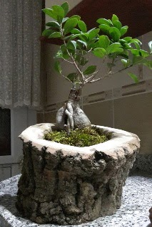 Ahşap kütük içerisinde ginseng bonsai  Eskişehir çiçek servisi , çiçekçi adresleri