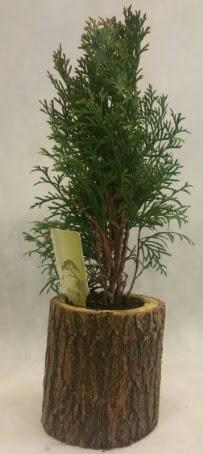 SINIRLI STOK Selvi Bonsai Doğal kütükte  Eskişehir çiçek siparişi sitesi