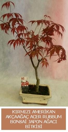 Amerikan akçaağaç Acer Rubrum bonsai  Eskişehir online çiçekçi , çiçek siparişi