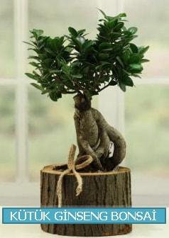 Kütük ağaç içerisinde ginseng bonsai  Eskişehir internetten çiçek satışı