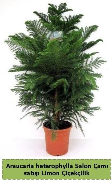 Salon Çamı Satışı Araucaria heterophylla  Eskişehir online çiçek gönderme sipariş