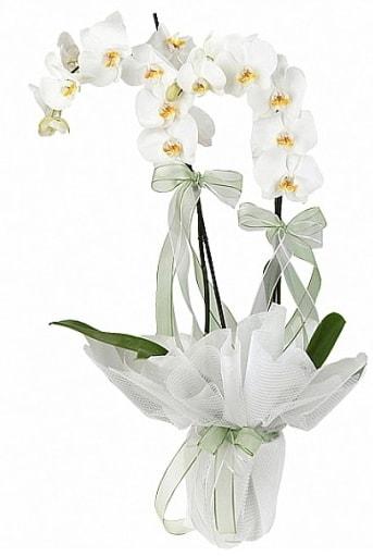 Çift Dallı Beyaz Orkide  Eskişehir İnternetten çiçek siparişi