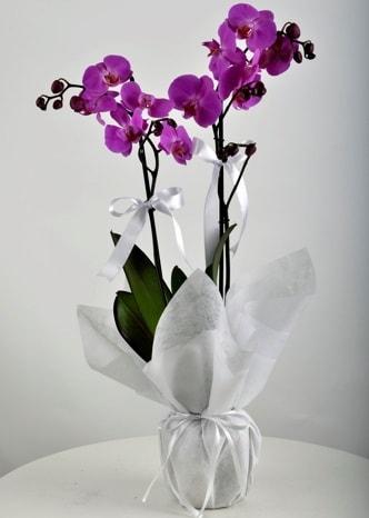 Çift dallı saksıda mor orkide çiçeği  Eskişehir çiçek mağazası , çiçekçi adresleri