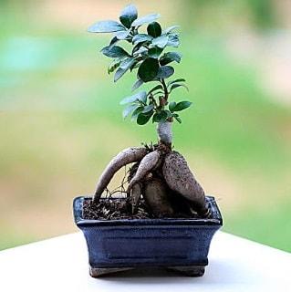 Marvellous Ficus Microcarpa ginseng bonsai  Eskişehir çiçek mağazası , çiçekçi adresleri