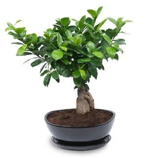 Ginseng bonsai ağacı özel ithal ürün  Eskişehir hediye sevgilime hediye çiçek