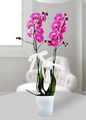 Çift dallı mor orkide  Eskişehir çiçek online çiçek siparişi