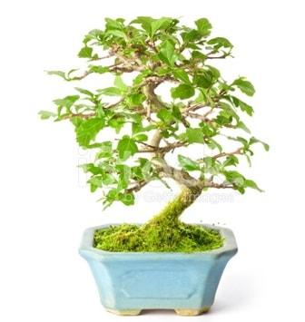 S zerkova bonsai kısa süreliğine  Eskişehir çiçek siparişi sitesi