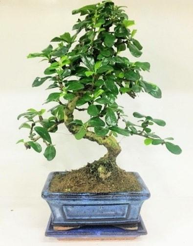 S Bonsai japon ağacı bitkisi  Eskişehir online çiçekçi , çiçek siparişi