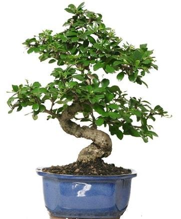 21 ile 25 cm arası özel S bonsai japon ağacı  Eskişehir çiçek siparişi vermek