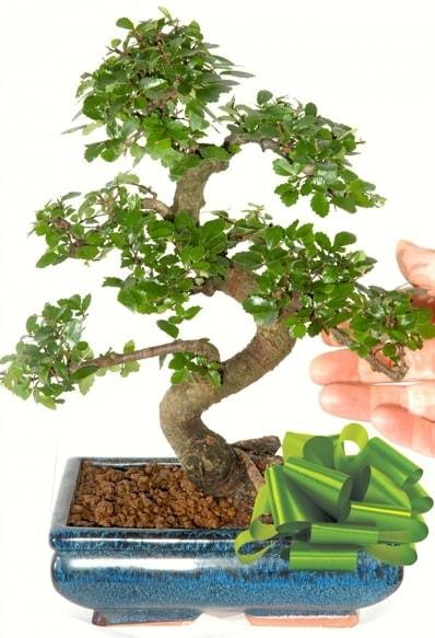 Yaklaşık 25 cm boyutlarında S bonsai  Eskişehir anneler günü çiçek yolla