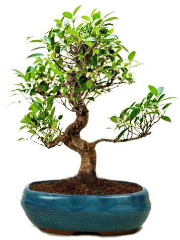 25 cm ile 30 cm aralığında Ficus S bonsai  Eskişehir internetten çiçek satışı