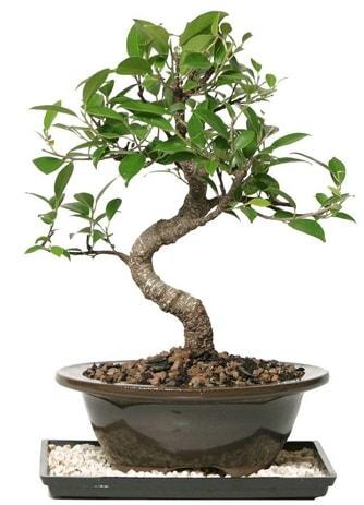 Altın kalite Ficus S bonsai  Eskişehir çiçek siparişi vermek  Süper Kalite
