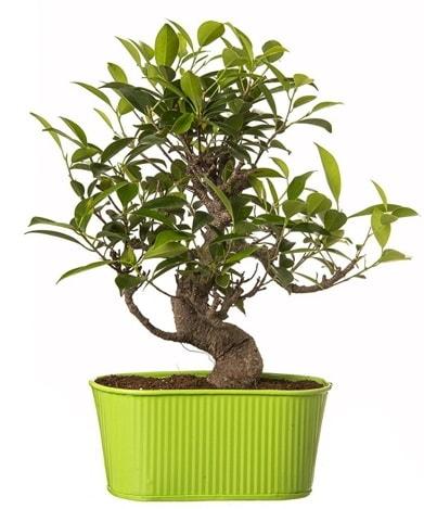 Ficus S gövdeli muhteşem bonsai  Eskişehir anneler günü çiçek yolla