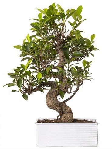 Exotic Green S Gövde 6 Year Ficus Bonsai  Eskişehir internetten çiçek satışı